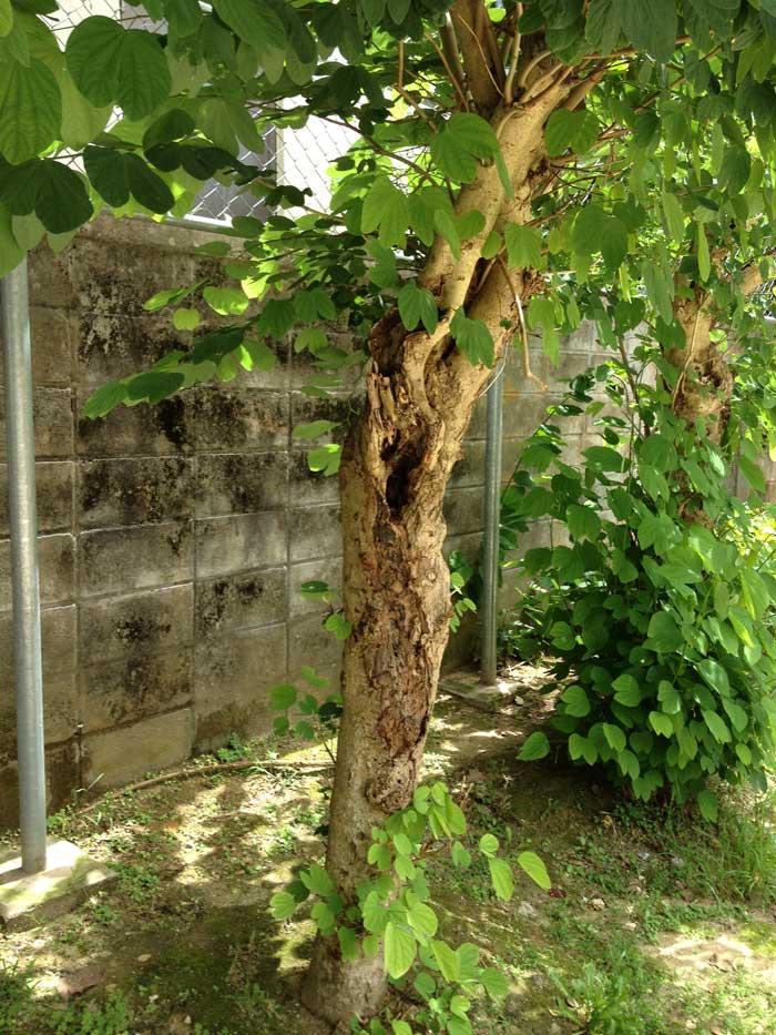 公園の立木のシロアリ被害(沖縄)