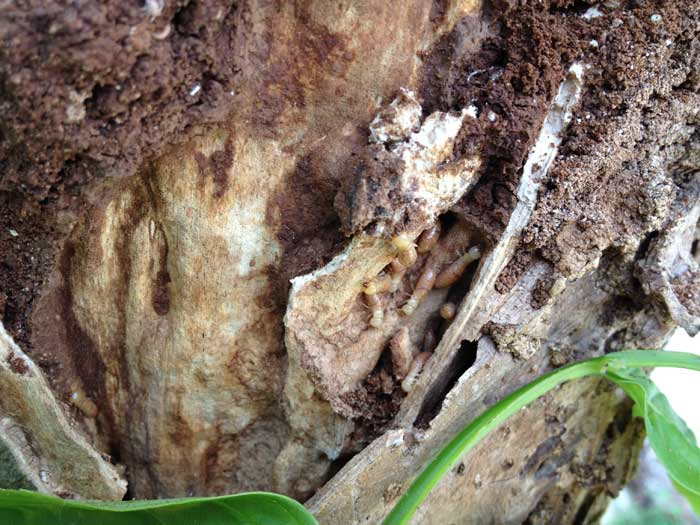 シロアリの職蟻(沖縄県)